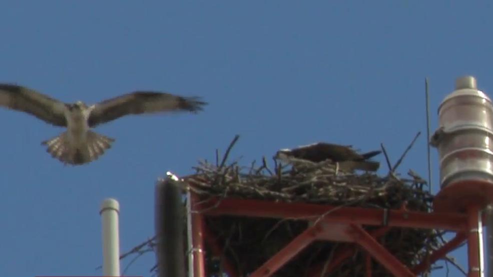 Osprey return to rebuild nest on ABC6/FOX28 news tower