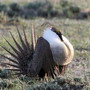 Feds to give states more flexibility in protecting sage grouse