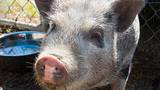 Pig found wandering near Powell Butte Park now available for adoption