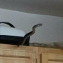 Suitland woman finds 2 snakes in her apartment in 2 days