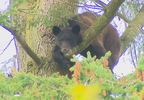 bear_in_tree_01.jpg
