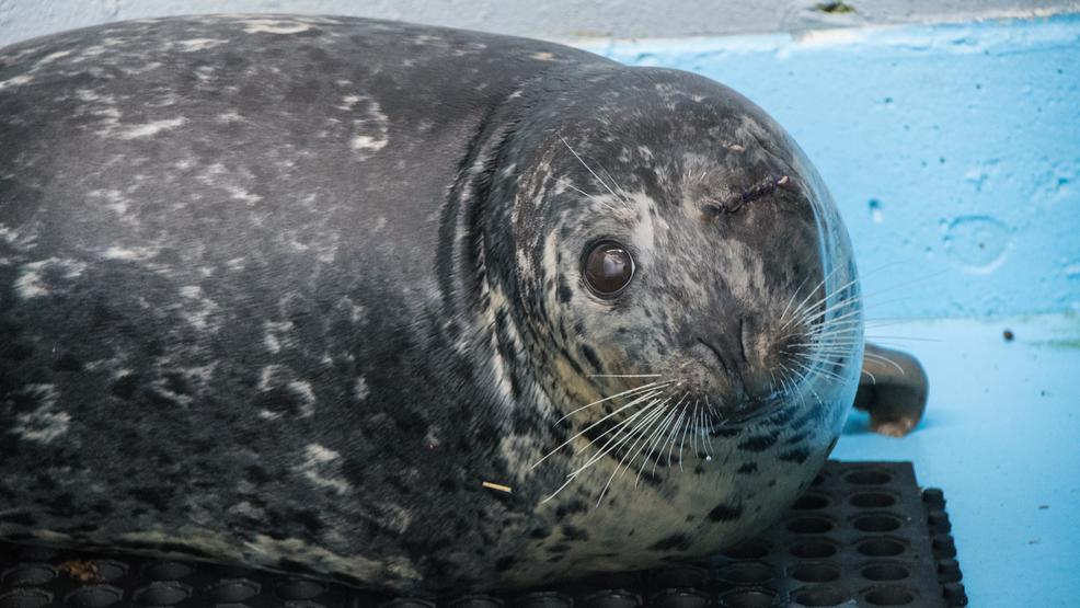 Pregnant harbor seal shot in the eye, set to be released back in wild