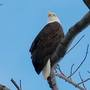 Bald eagle spotted along Charles River in Boston