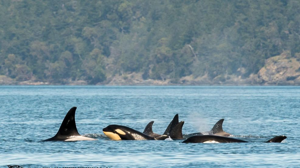 Over 50 thriving Bigg's orcas spotted in the Salish Sea