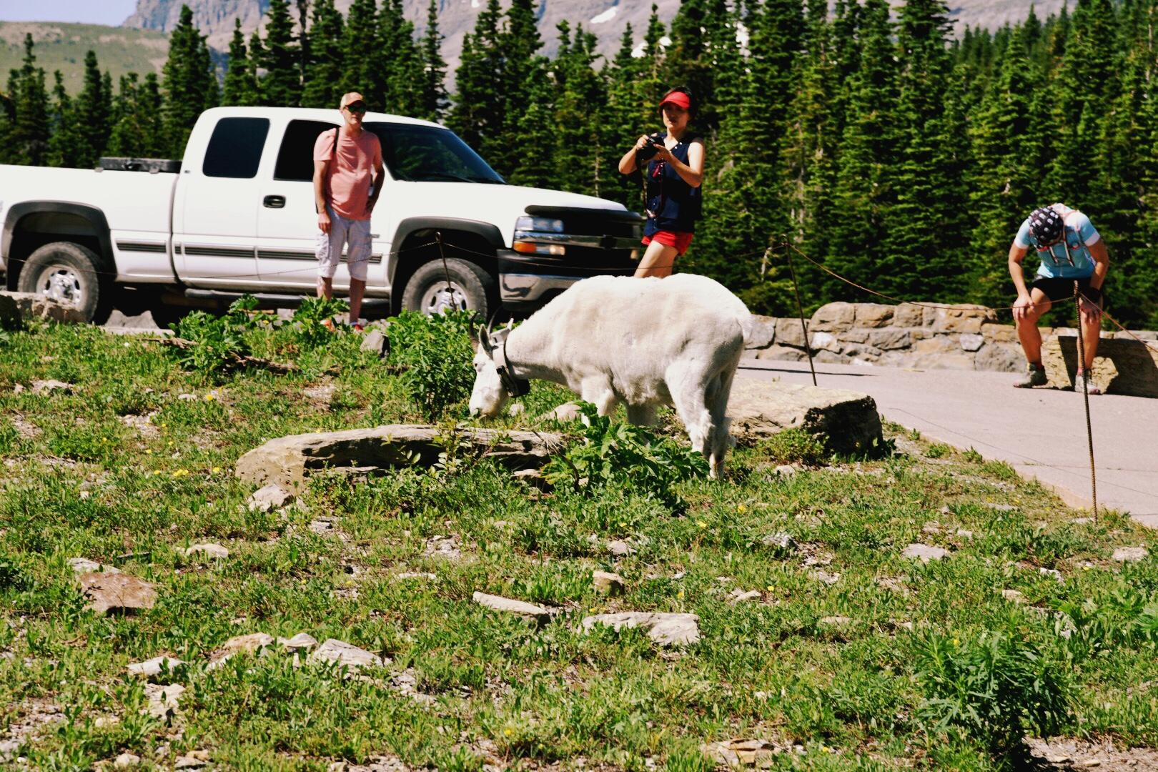 Logan Pass hosts a large visitor's center with rangers, informational signs and a gift shop. The best was spotting mountain goats in the distance and then stumbling upon one at the shuttle stop. (Image: Rebecca Mongrain/Seattle Refined)