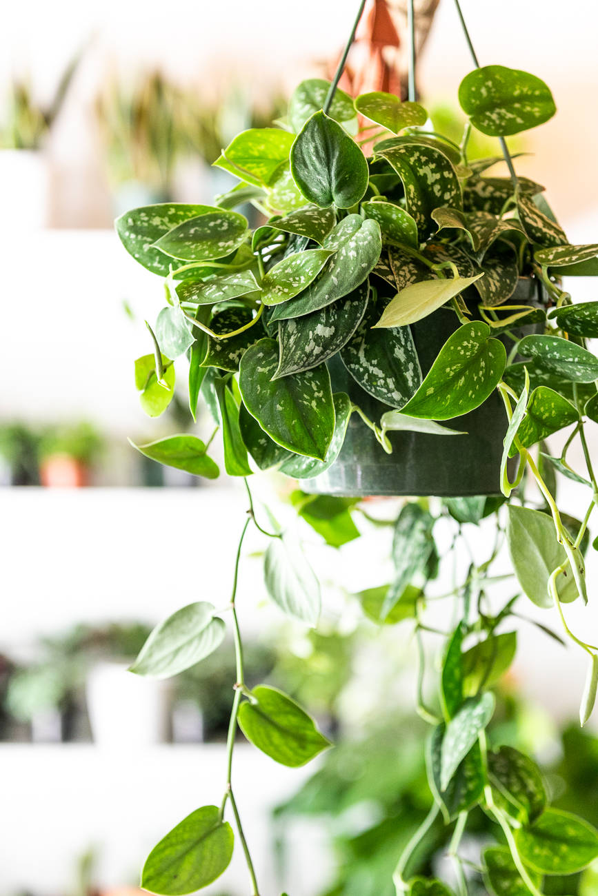 Fleurish Grounds has a variety of hanging plants. / Image: Amy Elisabeth Spasoff // Published: 7.5.20