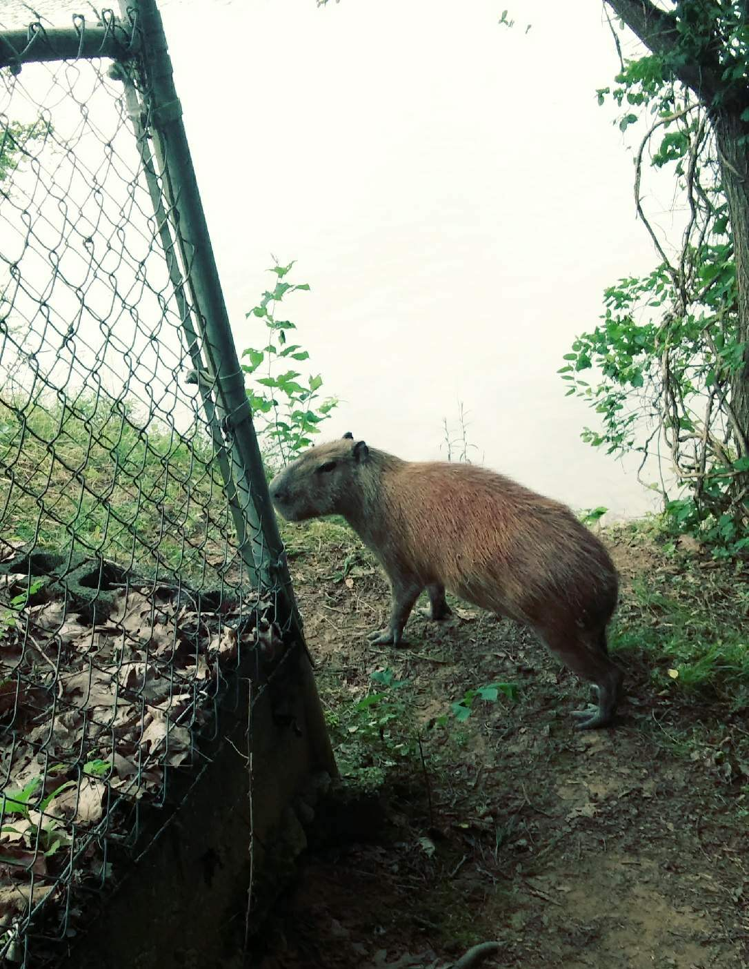 The capybara (Hydrochoerus hydrochaeris) is the largest rodent in the world. It is a close relative to the guinea pig. Native to South America, the capybara inhabits savannas and dense forests and lives near bodies of water. (Photo courtesy TWRA)