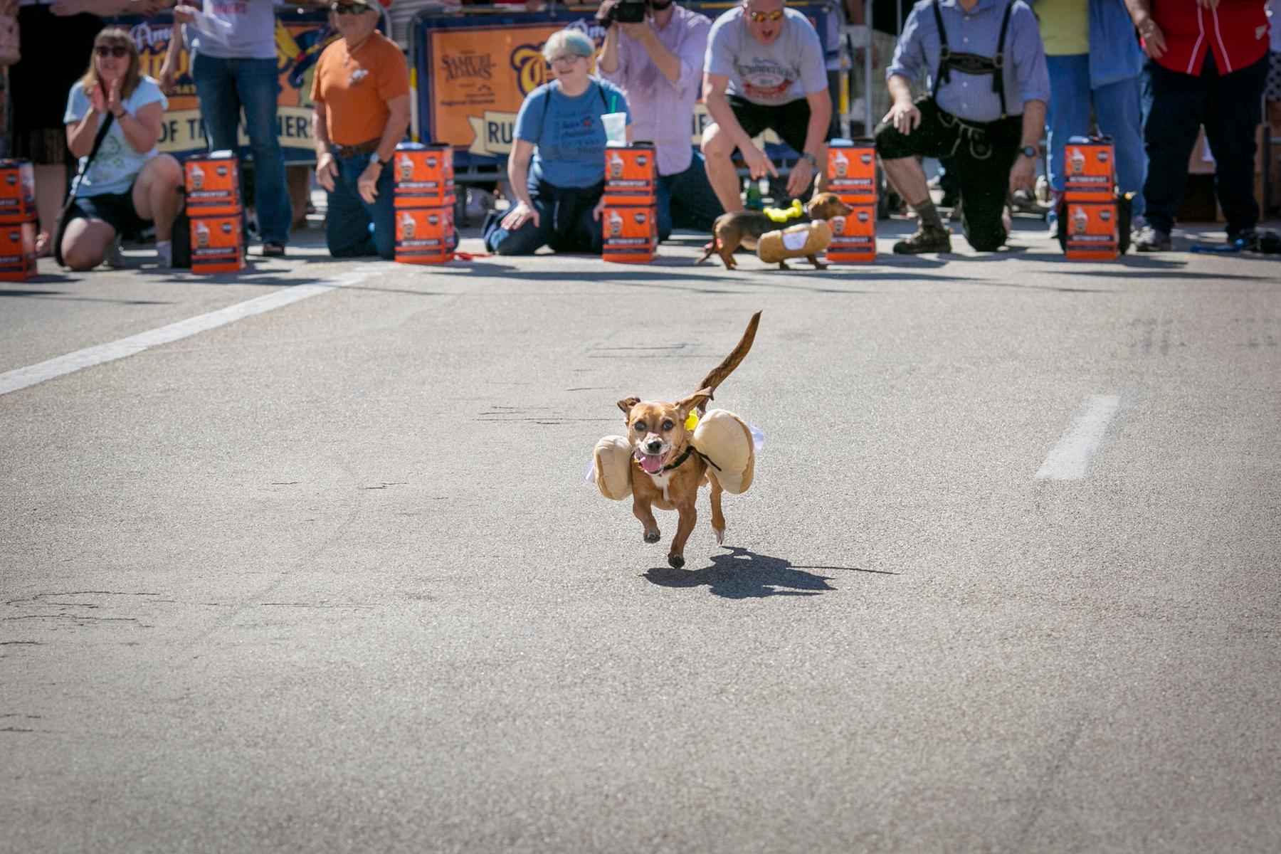 Oktoberfest Zinzinnati's 10th annual Running of the Wieners took place on Friday, September 15 on Race Street between 2nd and 3rd. This year's fastest pup was Gus, a dachshund with a dappled coat and little brown legs. Gus beat out the other 100 dachshunds who raced this year to claim the crown. / Image: Mike Bresnen Photography // Published: 9.16.17