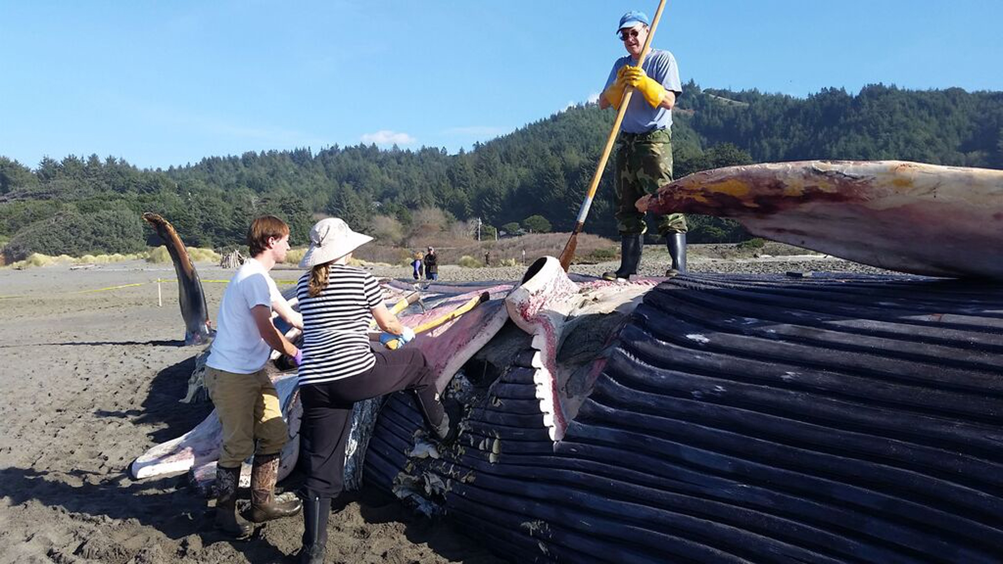This undated photo supplied by the Oregon Parks and Recreation Department, researchers harvest the carcass of a blue whale that washed up on the beach recently near Gold Beach, Ore.  Authorities estimate that the 78-foot long dead blue whale{&amp;nbsp;} was dead for about two weeks before it washed up onto the sandy beach. (Oregon Parks and Recreation Department via AP)<p></p>