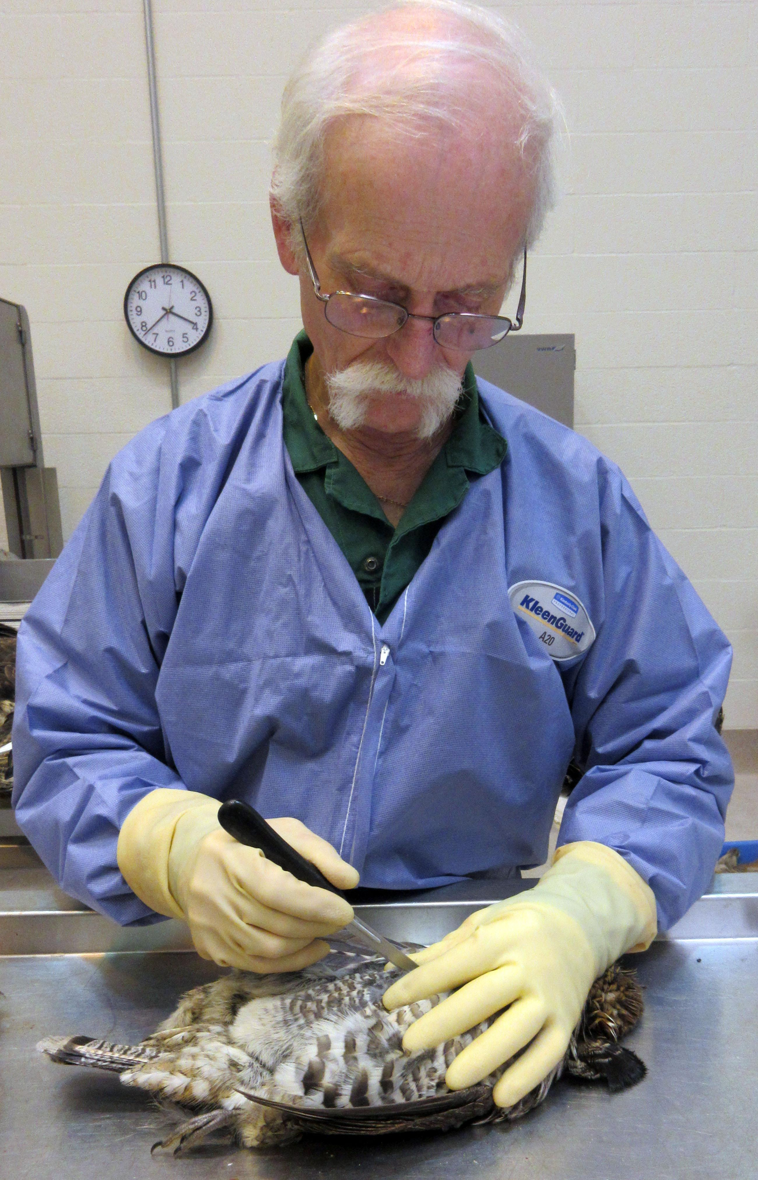 Michigan Department of Natural Resources pathologist Tom Cooley performs a necropsy on a ruffed grouse.{&amp;nbsp;}Photo Courtesy: Michigan Department of Natural Resources<p></p>
