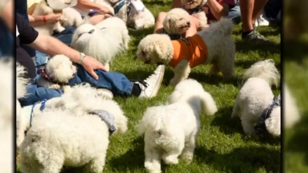 Get ready for the Bichon Bash! | WJLA