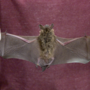 Officials say two rabid bats found in St. Joseph County