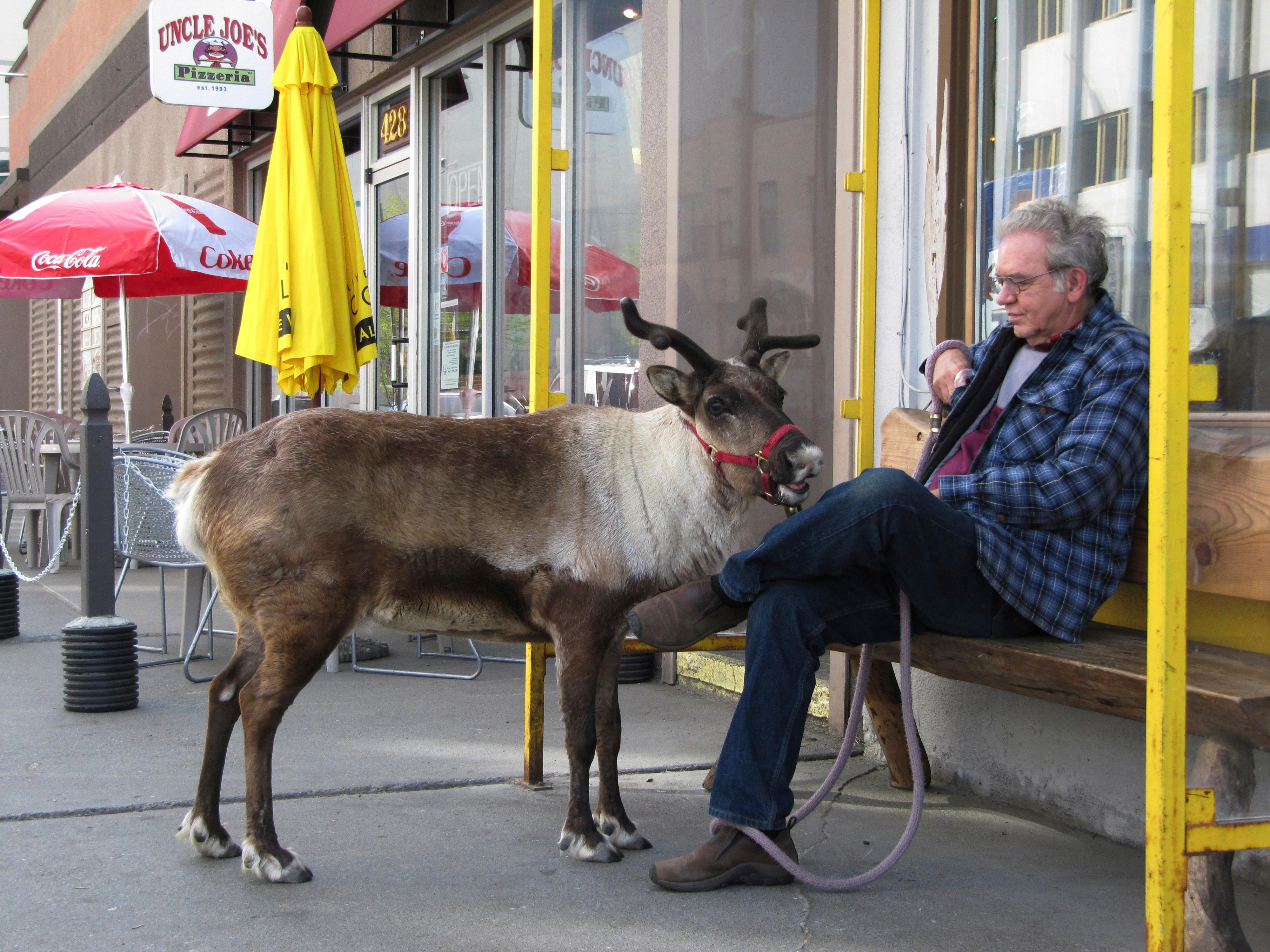 FILE - This May 23, 2010, file photo shows Star the reindeer and her owner, Albert Whitehead, taking a break during a stroll through downtown Anchorage, Alaska. The 15-year-old reindeer, the sixth of a line of local pet reindeer died Saturday, Oct. 7, 2017. (AP Photo/Rachel D'Oro, File)