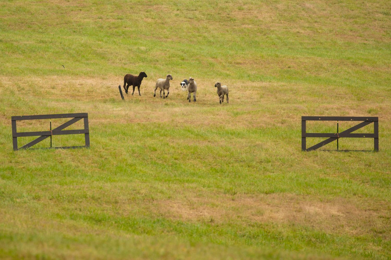 Thousands will come out to the Annual Sheepdog Classic at Misty Isle Farms on Vashon Island. Visitors enjoy local fare, fiber arts, and other artisan crafts while experiencing this highly regarded national competition. The Sheepdog Classic runs Thursday through Sunday and is less than a 20 minute ferry ride from West Seattle. (Sy Bean / Seattle Refined)