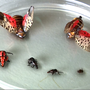 BUGGING OUT | Lanternfly set to spread its goo in MD