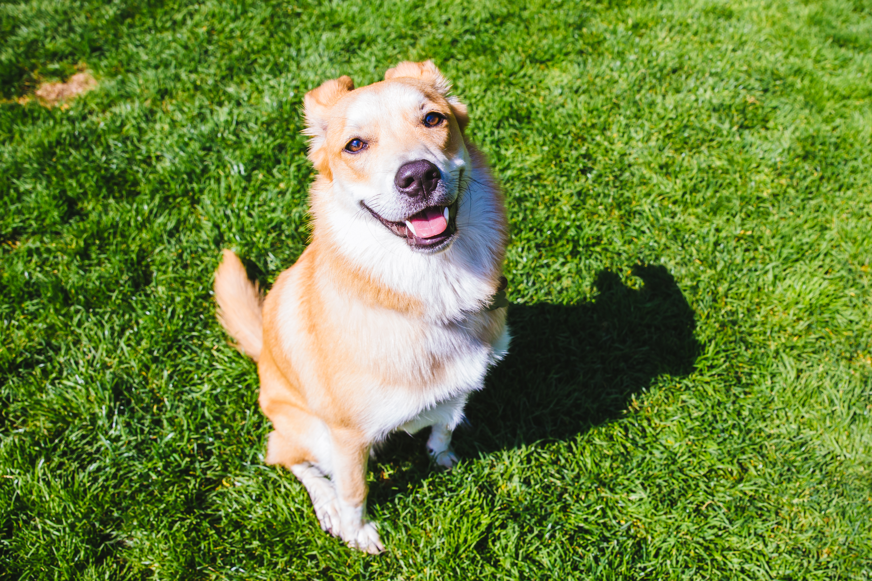 Everyone meet, Daisy! Daisy is a 10 month old Cattle Dog mix. She was rescued from an reservation in South Dakota by her parents in Seattle. Daisy likes hiding bones in the couch, cuddles, red peppers, swimming, soft blankets, and licking the dishwasher. Ahhh, nothing like the taste of fresh dishes! She dislikes bath time, people who don't give pats, her mom's hairdryer, hot nights, and loud noises. The Seattle RUFFined Spotlight is a weekly profile of local pets living and loving life in the PNW. If you or someone you know has a pet you'd like featured, email us at hello@seattlerefined.com or tag #SeattleRUFFined and your furbaby could be the next spotlighted! (Image: Sunita Martini / Seattle Refined)