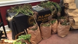 ADDU seizes 289 plants at marijuana grow house worth $289,000