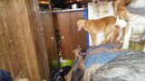 Animal Control discovers 39 dogs, 2 chickens living in hot, messy trailer