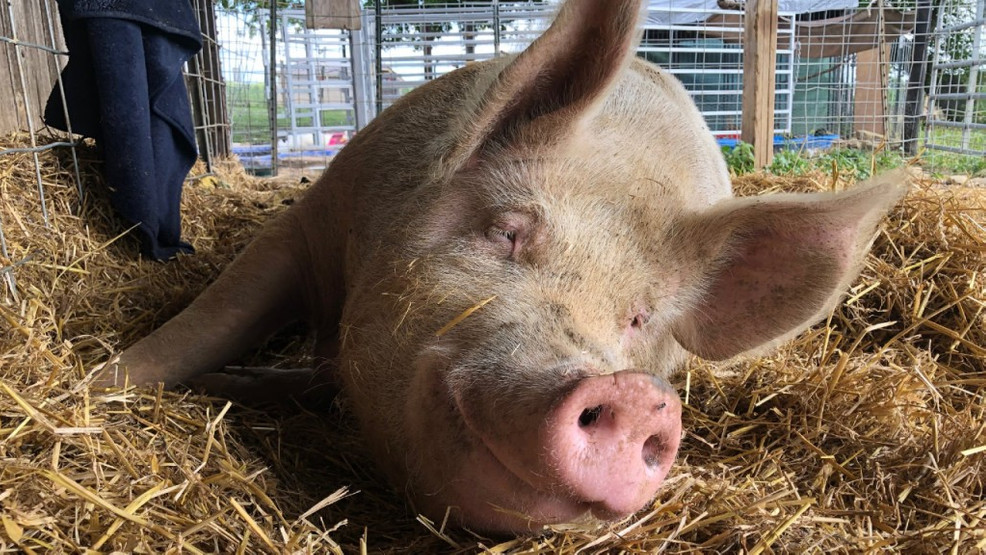 In Memory Of Winnie The Pig Heartland Farm Sanctuary Accepting Donations For Animal Wmsn