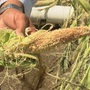 Weekend storms cause widespread crop damage in Custer County