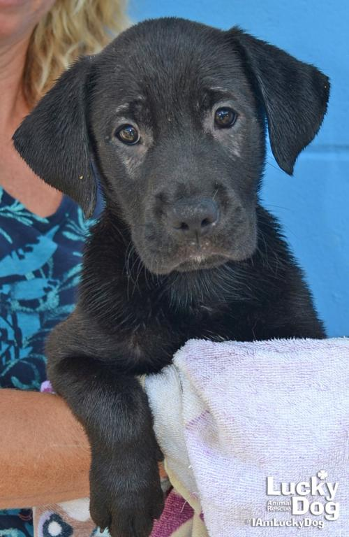 Clarice  is a 10-week-old, 10-pound black lab mix who was evacuated before the storm from{ }Florence, South Carolina. If you are interested in adopting Clarice, you can meet her{ }Sunday (September 16) from 12-2 pm at the Kentlands PetSmart in Gaithersburg, MD. (Image: Courtesy Lucky Dog Animal Rescue){ }