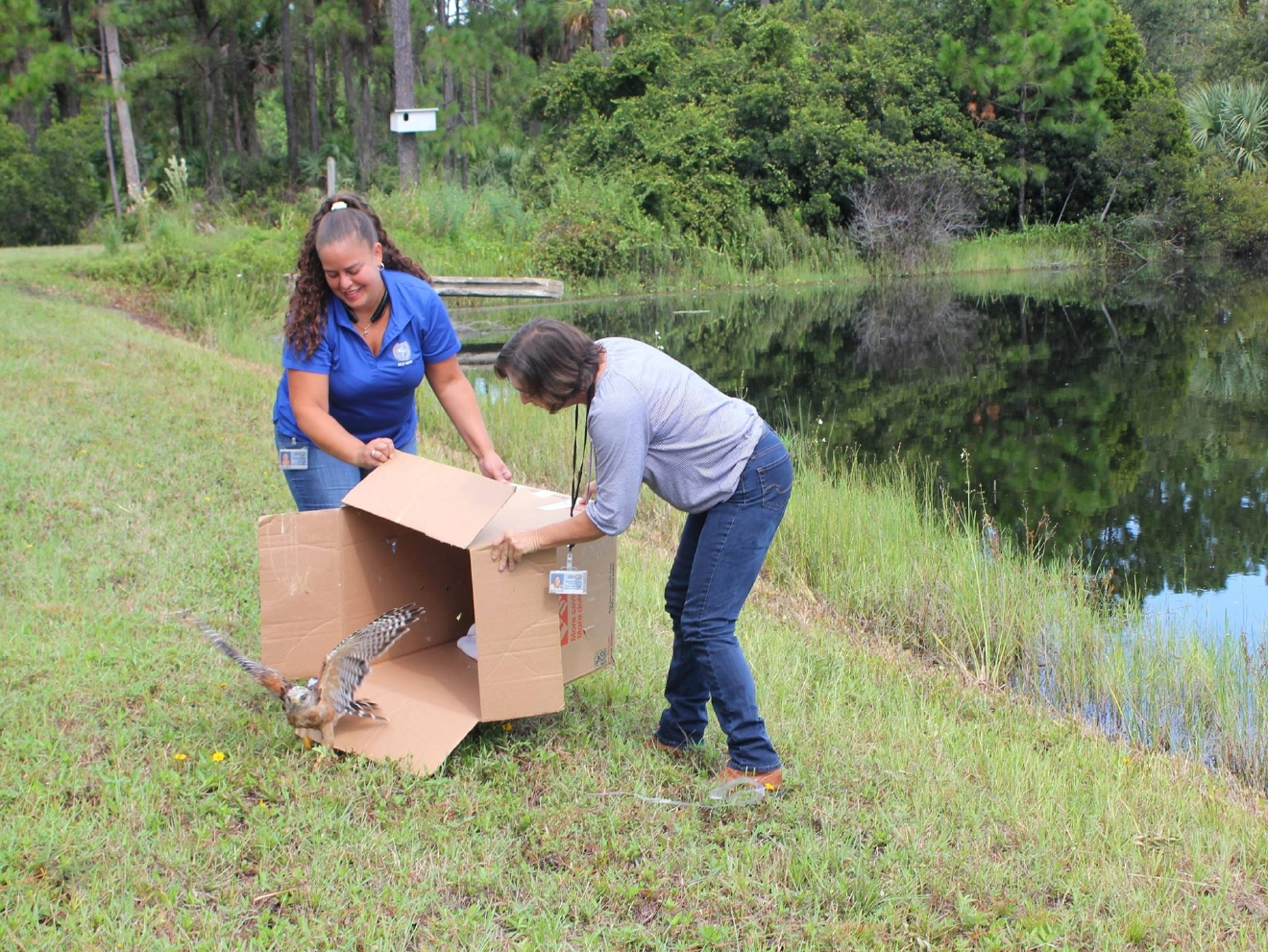 treasure coast wildlife center releases red shouldered hawk into another great release this time a recovered red shouldered hawk was released at the martin