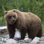 2nd grizzly attack in week in Montana stopped by bear spray