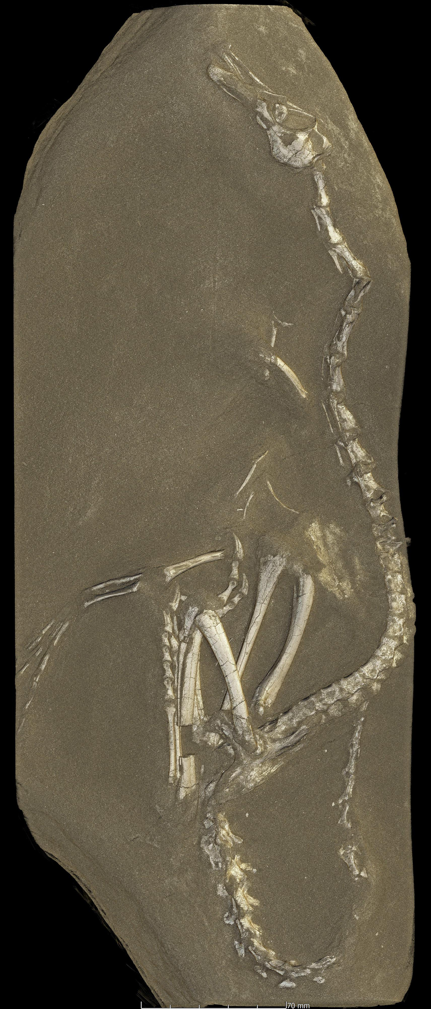 This image provided by the European Synchrotron Radiation Facility shows a view from a 3D rendering of the Halszkaraptor escuilliei dinosaur fossil computed from data obtained at the ESRF in Grenoble, France. The creature, about 18 inches (45 centimeters) tall, had a bill like a duck but teeth like a croc's, a swan-like neck and killer claws. (Paul Tafforeau/ESRF via AP)