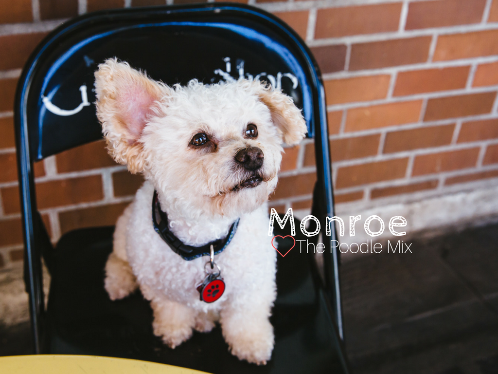 "Everyone meet, Monroe Fairbanks the cutest little Poodle Mix of all time! Monroe is five years old and was rescued by Emerald City Pet Rescue before settling down into Belltown with his parents. Monroe likes long walks on the beach, meeting new friends at bars throughout Belltown, watching Doctor Who, and working at Amazon. He dislikes the monorail because ""he believes deep down in his soul that it's an evil beast."" He also dislikes buses and large trucks. You can follow Monroe's journey on instagram, @monroethebarhoppingdog!  The Seattle RUFFined Spotlight is a weekly profile of local pets living and loving life in the PNW. If you or someone you know has a pet you'd like featured, email us at hello@seattlerefined.com or tag #SeattleRUFFined and your furbaby could be the next spotlighted! (Image: Sunita Martini / Seattle Refined)"