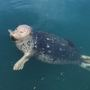 Popeye, celebrity harbor seal, bites boater in Friday Harbor