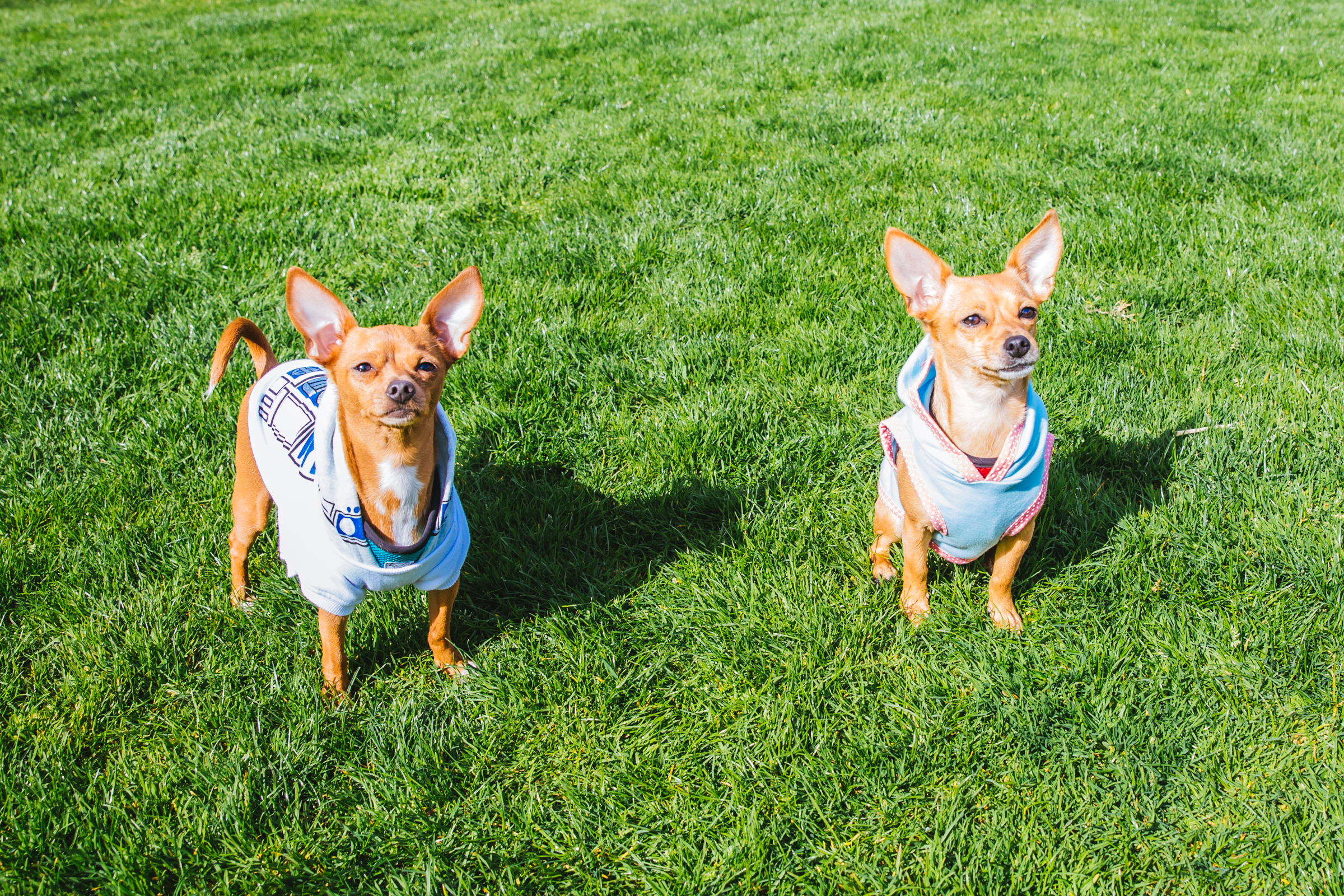 Meet our RUFFined Spotlight this week, brother and sister Chiweenies Roxy and Chacho! Roxy and Chacho were rescued out of Southern California by the Alvarez family and have made their home in the Emerald City! Roxy and Chacho will both be celebrating their second birthdays on May 23. They both love frozen peas, frozen pineapple bites, peanut butter and lots of love and attention. They also love warm sweaters and hoodies. But what they love MOST OF ALL - is diving into a warm pile of laundry, fresh out of the drier. As far as dislikes, Roxy doesn't like the sound of big trucks, and Chacho doesn't like to leave his bed...we know the feeling Chacho, we know the feeling. The Seattle RUFFined Spotlight is a weekly profile of local pets living and loving life in the PNW. If you or someone you know has a pet you'd like featured, email us at hello@seattlerefined.com or tag #SeattleRUFFined and your furbaby could be the next spotlighted! (Image: Sunita Martini / Seattle Refined).