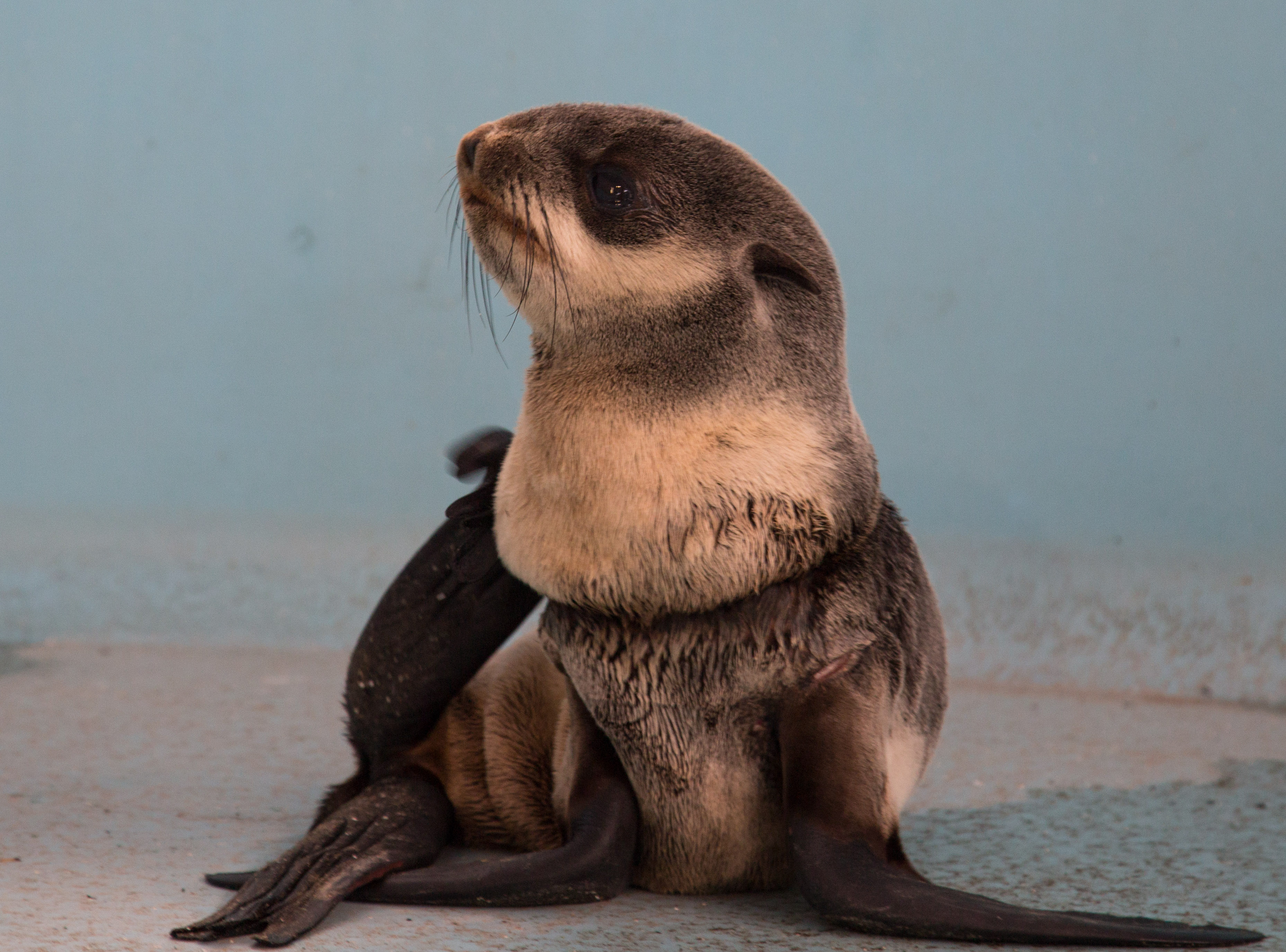 "<p>Jim Burke, Oregon Coast Aquarium Director of Animal Husbandry, said a swift return to the wild is in the animal's best interest.</p><p>""The sooner the pup is released, the better,"" said Burke. ""The animal would not have survived without being dis-entangled. He is stronger today now that we've removed the entanglement and administered multiple courses of antibiotics. The best thing is to get the pup back in the water where it can hunt for food. Luckily, the wound appears superficial.""</p>"