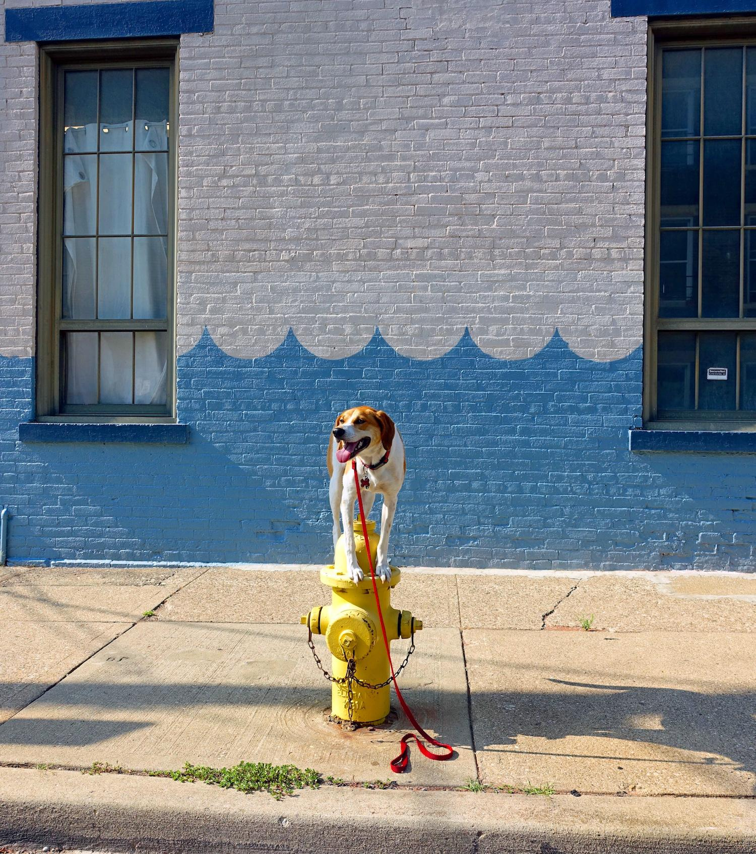 LOCATION: Wave Pool Gallery / Mollie is a local Instagram celebrity. Famous for posing on fire hydrants in front of ArtWorks murals (and other Cincy landmarks), this hound dog has officially stolen our hearts. You can follow her adventures on Instagram @molliethehounddoggie / Image: Patti Mossey (Mollie's owner and #1 fan) // Published: 5.1.18