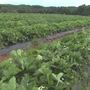 Heavy rain impacting local crops