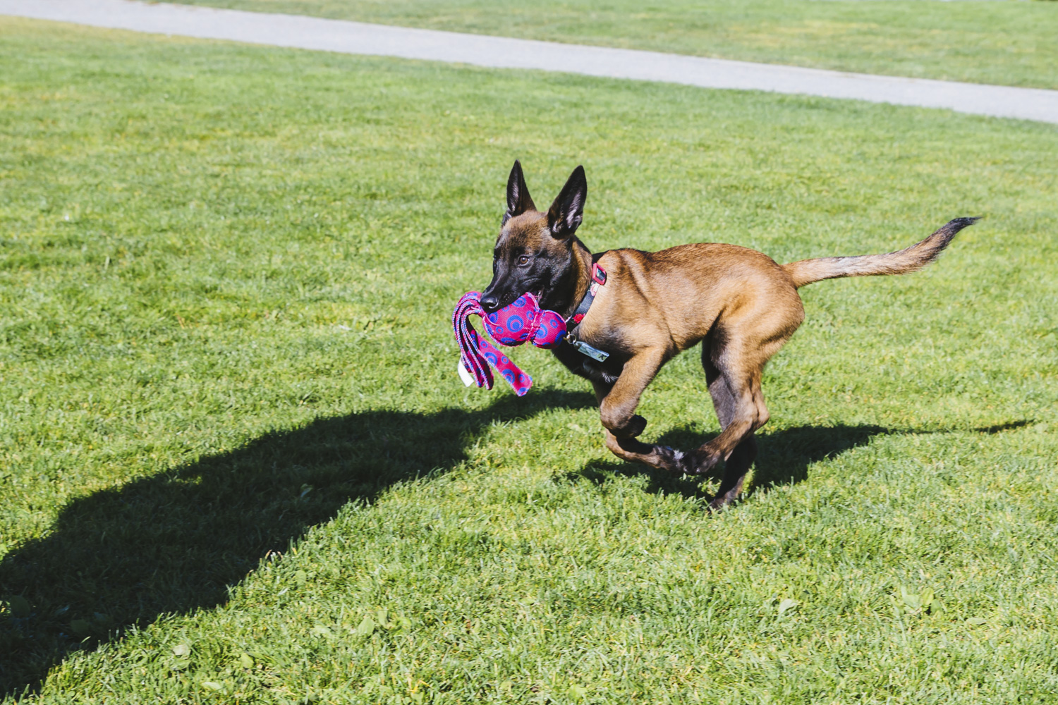 Meet Denali! Denali is a five-month-old Belgian Malinois! She is originally from Toronto, but is now living it up in Seattle! How 'bout that, eh? Sorry - I couldn't resist. Denali likes baths, playing tug of war with her Kong Wubba, and hanging out in Jefferson Park. She dislikes being mistaken for a boy and seeing the Mariners miss post season. The Seattle RUFFined Spotlight is a weekly profile of local pets living and loving life in the PNW. If you or someone you know has a pet you'd like featured, email us at hello@seattlerefined.com or tag #SeattleRUFFined and your furbaby could be the next spotlighted! (Image: Sunita Martini / Seattle Refined).