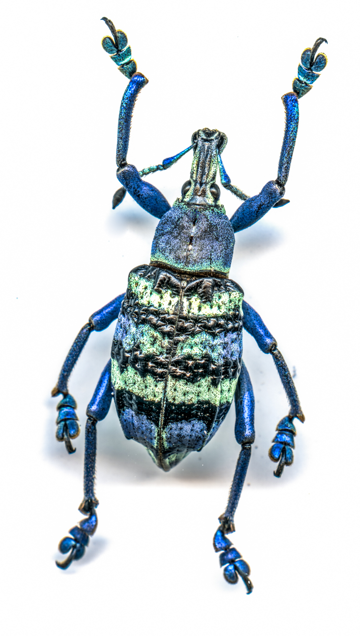 "The jewel beetles, lanternflies, and the weevil (the ""blue-striped fella who looks like he's dancing"" as Catherine puts it) are some of her favorites in the group.  / Image: Catherine Viox // Published: 4.12.20"