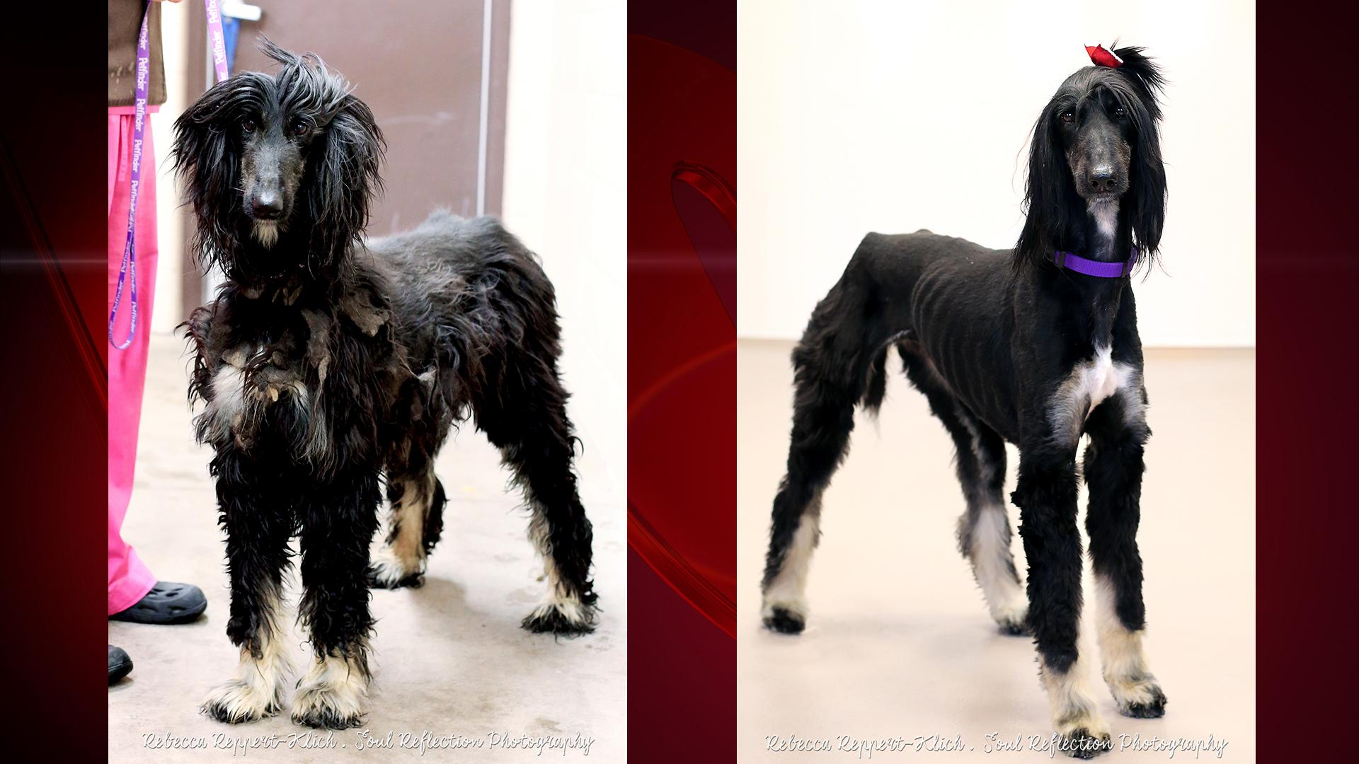 Sheri the dog's before and after photo (Photos courtesy of Fox Valley Humane Association)