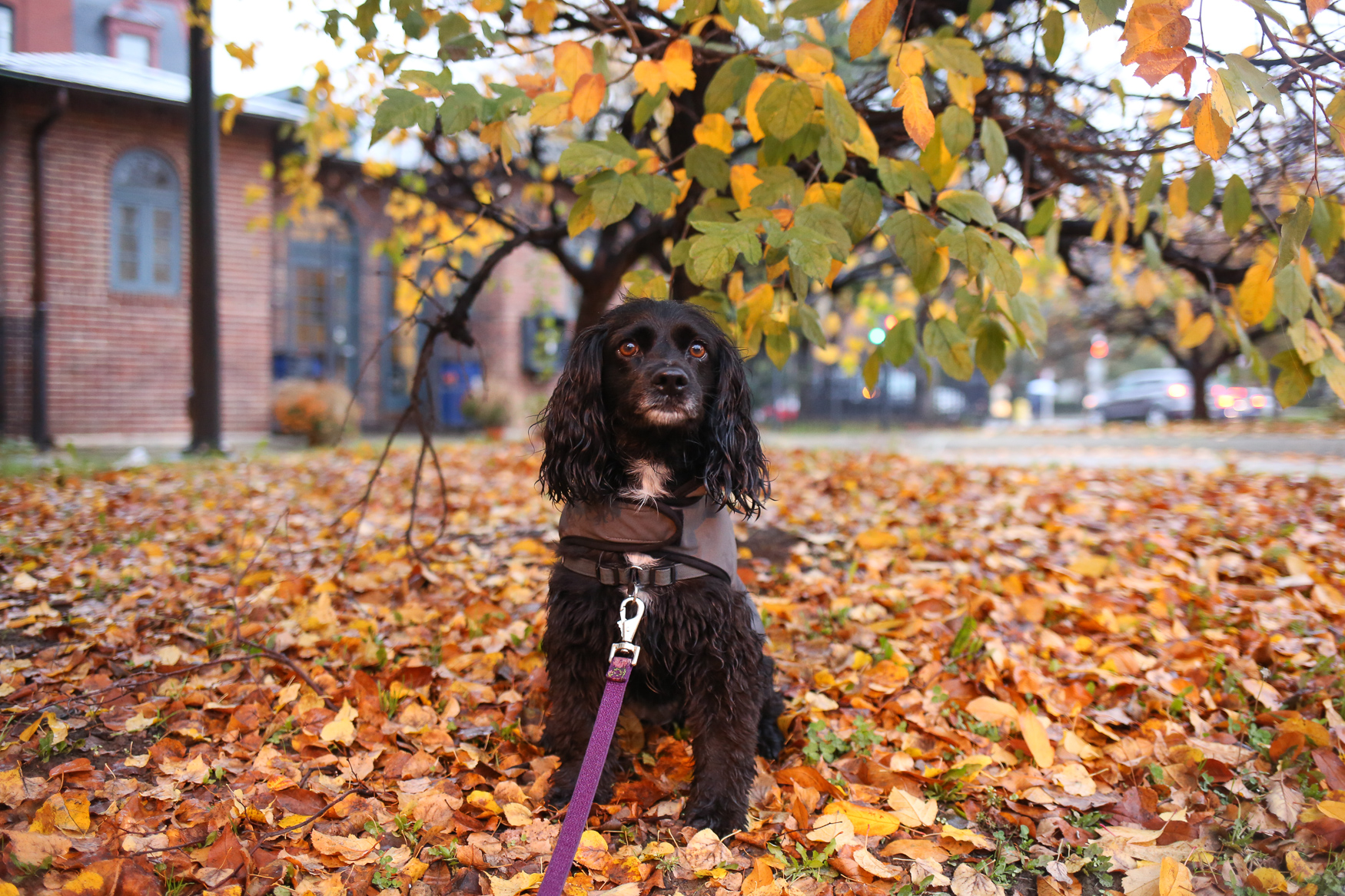 "Meet Rosie,{ } a four-year-old Cocker Spaniel mix. She is coming up on her first ""Gotcha Day"" anniversary as her mom adopted her from the ""Oldies But Goodies Cocker Spaniel Rescue"" in Virginia last November.{ }Rosie is a biiiig{ } cuddler -- she's perfectly content to sit in your lap or right beside you literally all day and night! She is also a trash panda on walks - she'll eat anything if you're not careful, and you've probably never noticed the amount of crazy stuff all over D.C. sidewalks unless you also have a dog. Rosie has made friends with with the dishwasher and hair dryer, but the vacuum has yet to be trusted. You can follow all of Rosie's adventures on her Instagram:{ }@DistrictRosie.{ }If you're interested in having your pup featured, drop us a line at aandrade@dcrefined.com (Amanda Andrade-Rhoades/DC Refined)"