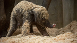 Baby elephant born at Columbus Zoo, shows off its cuteness immediately