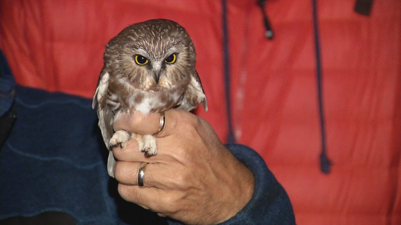 A captured Saw Whet Owl remains docile while being banded and observed before being released. (WCHS/WVAH)<p></p>