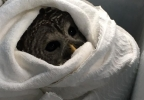 owl rescue whately police.jpg