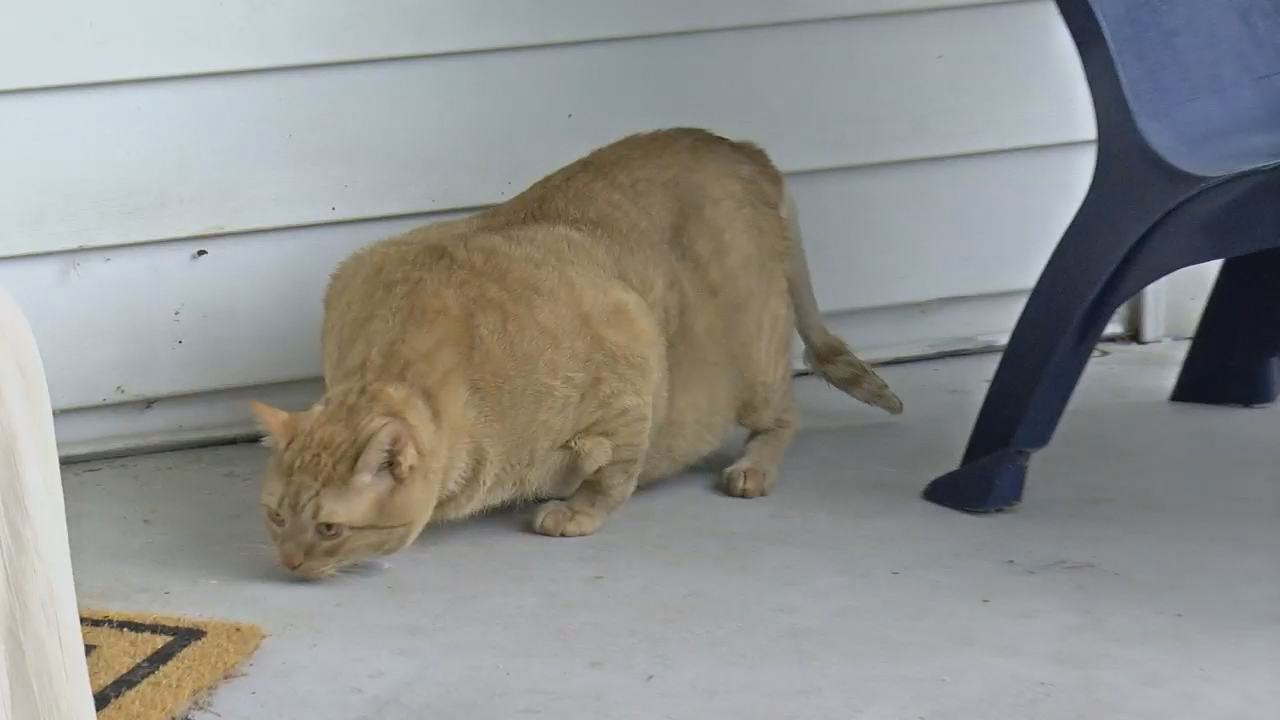 Maryland couple adopts 35-pound cat named Symba (ABC7)