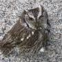 Observant Coventry DPW worker spots injured owl