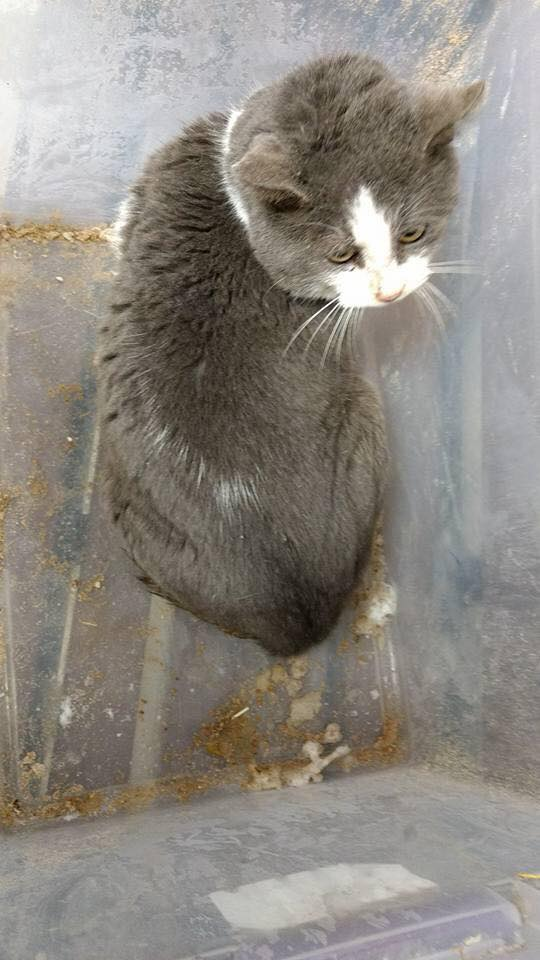 Humane Society of Midland County said they found a male cat left in a frozen plastic tote with a rock top at their location. (Photo courtesy of Humane Society of Midland County)