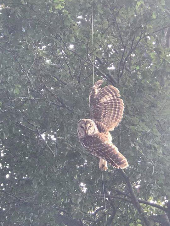 A barred owl that was tangled in fishing line and hanging from a tree in Warwick is now safe. (Photo courtesy of The Wildlife Rehabilitators Association of Rhode Island)