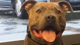 Rescued pit bull turns police dog thanks to Tukwila PD