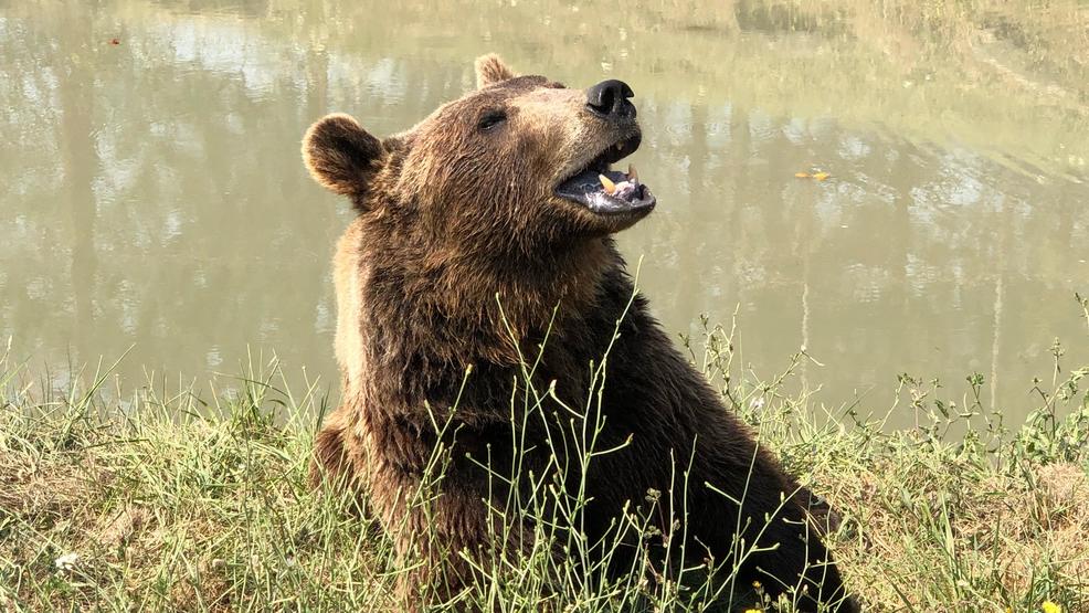 'We're seeing old Oso again': Hemp oil helps treat bear at