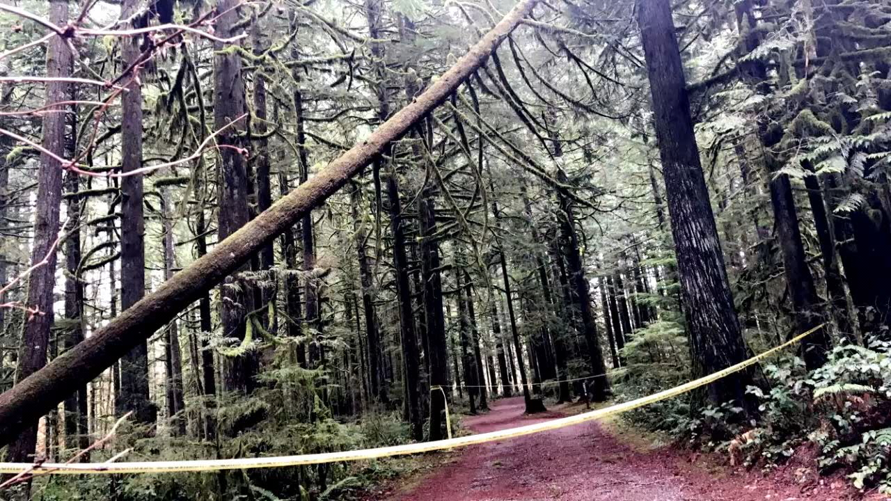 It's an illegal move that stunned park rangers and residents in Snohomish County. A nearly 100-year-old cedar tree on county parkland has been hit by a poacher. (Photo: Snohomish County Parks & Recreation)