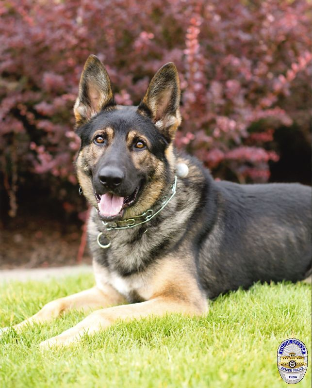 Keizer Police K-9 Bruno died on Wednesday, Oct. 11, 2017 of a bacterial infection. Photo courtesy Keizer Police Department