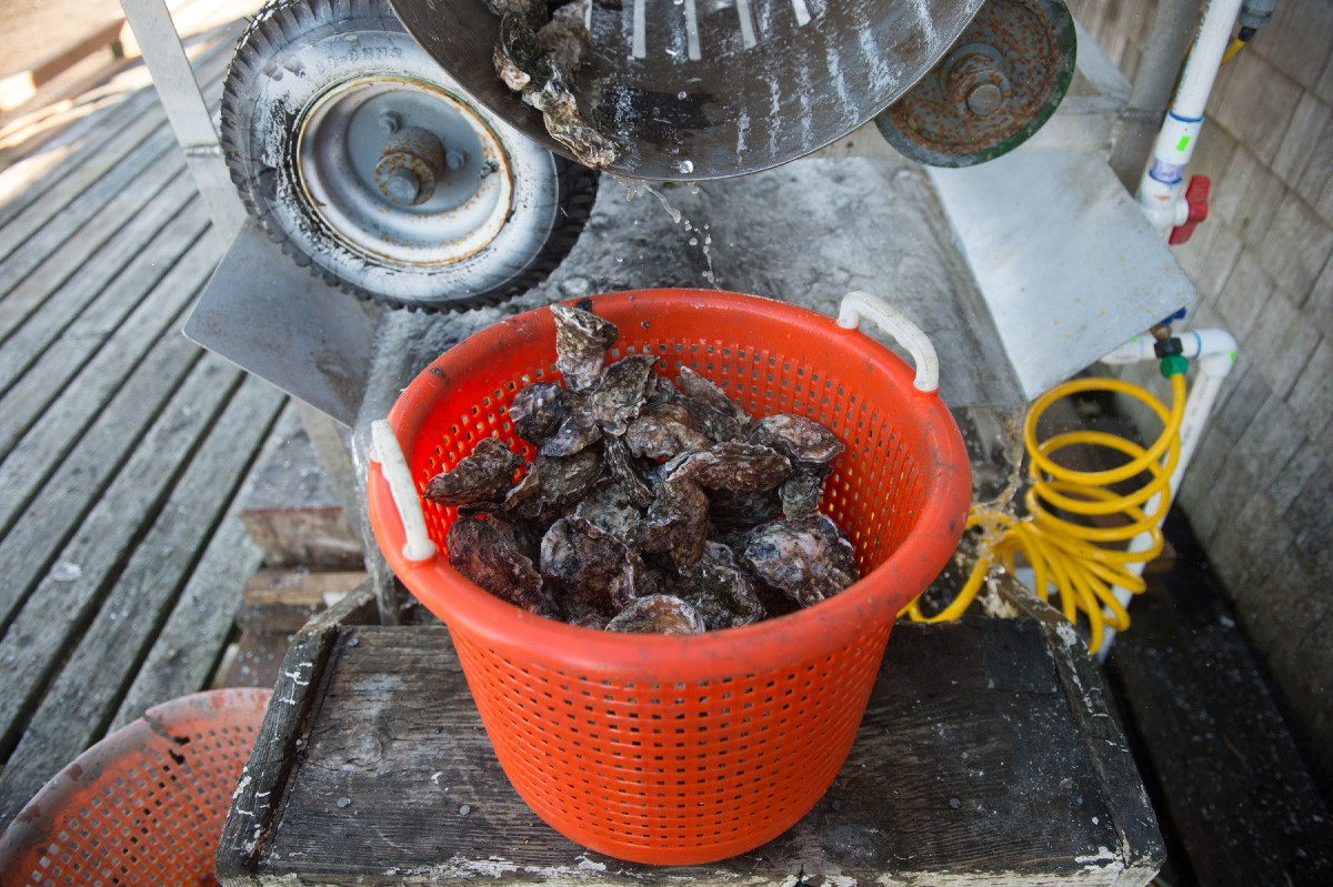 Oysters in the process of being cleaned. (Image: Chona Kasinger / Seattle Refined)